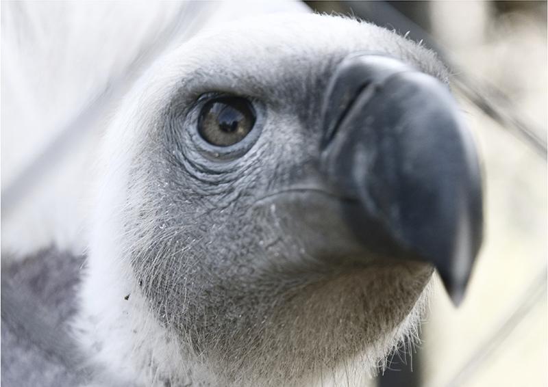 vulture-face